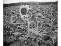Napraforgó- Lomográf tájkép - Ljubitel 2-vel, filmre készült hagyományos tájkép