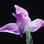 Képajánló: Hazai vadon élő orchideák