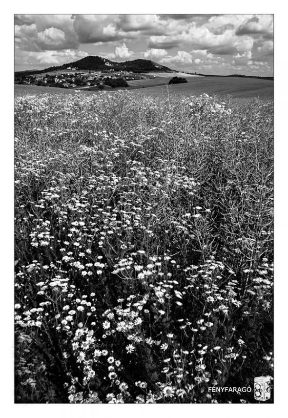 Nyári rét (Szomor, 2015. június 21.) | Summer meadow (Szomor, 21th Jun, 2015.)