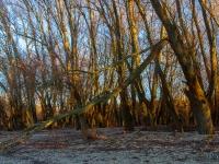 Ártéri fák (Duna, 2020. február 1.)